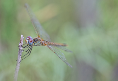 Female Red Veined Darter Dragonfly. Type Sympetrum Sanguineum. Lovely Makro with shallow depth of field