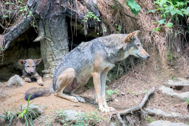 Female Red Wolf Guarding Den; Baby wolf in den stock photo