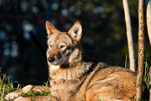 The Red Wolf (Canis rufus) is the worlds most endangered canine. It is a uniquely American wolf, its entire historical range being limited to within the eastern United States. The red wolf subspecies is the product of an ancient genetic mix between the gray wolf and coyote, but is now considered a unique subspecies and worthy of conservation. The red wolf is smaller and thinner than the gray wolf. It is actually gray-black in color, but has a distinctive reddish cast for which it is named. Once hunted to the brink of extinction, the U.S. Fish and Wildlife Service (FWS) started breeding them in captivity in the 1980's. In 1987 the red wolf was reintroduced into the wild but recovery efforts continue to be plagued by political attacks, misconceptions about wolves and weak recovery plans. As a result, red wolf populations are still declining in the wild and they are facing eventual extinction.