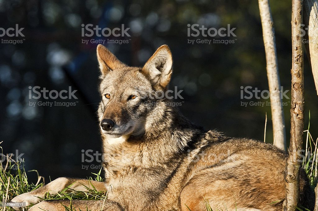 Female Red Wolf Resting stock photo