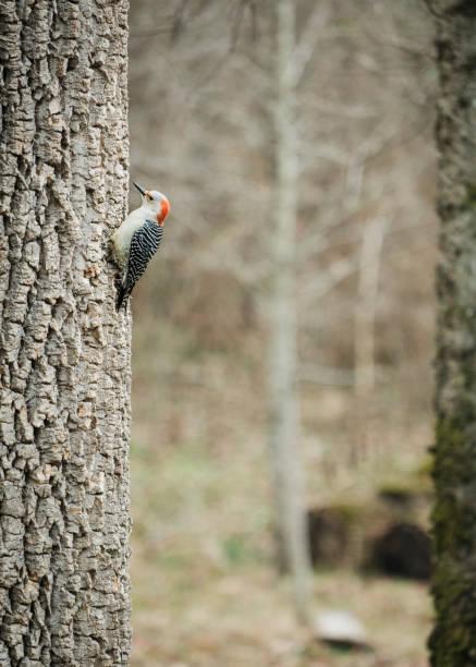 Female Red-bellied Woodpecker stock photo