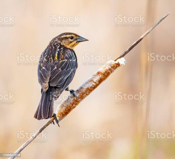Photo of Female red-winged blackbird on cattail.