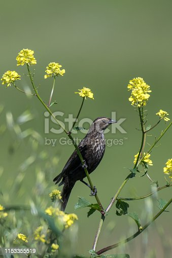 Female Red-Winged Blackbird Perched on Green Plant with Yellow Flowers Next to Lake