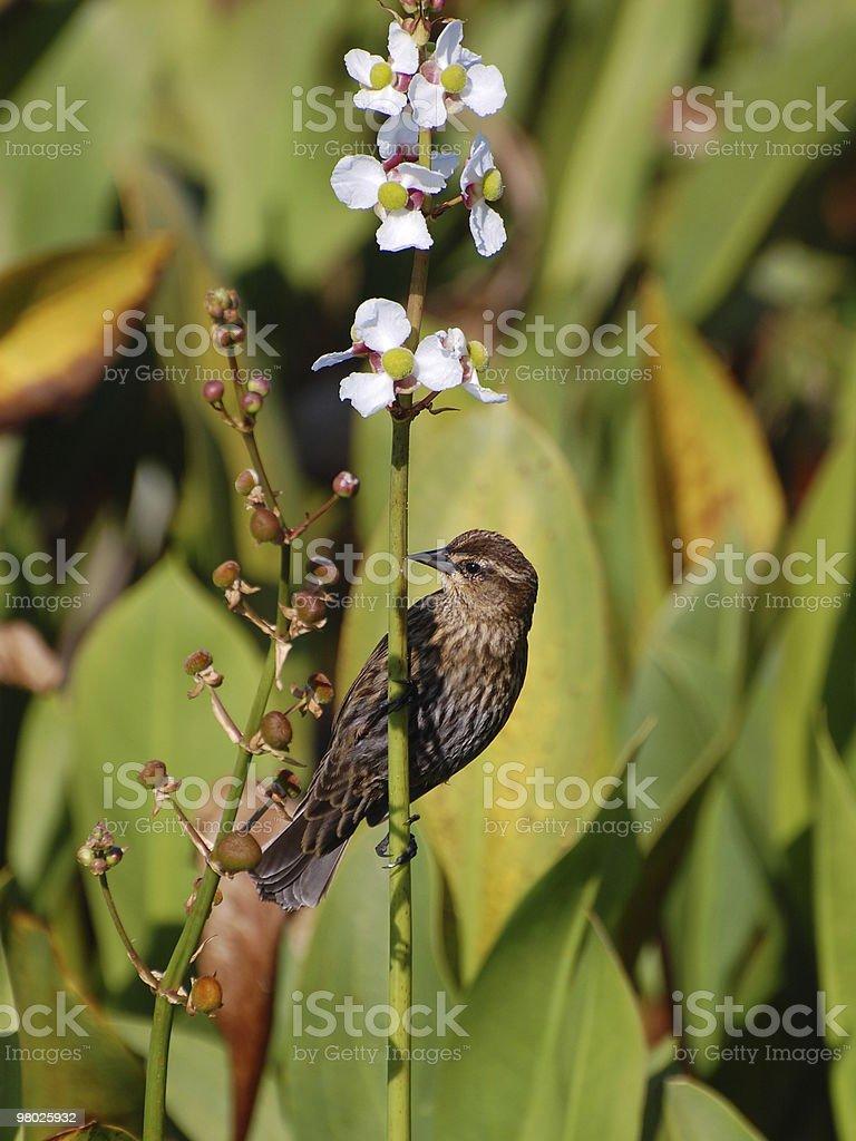 Female Red-winged Blackbird royalty-free stock photo