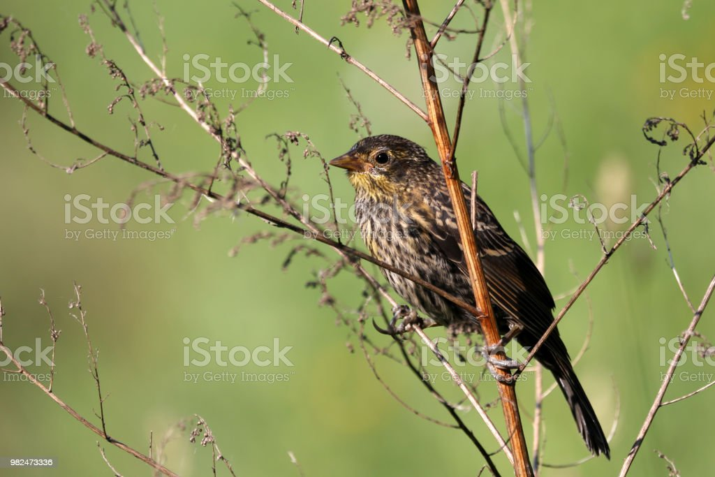 Female Red-Winged Blackbird stock photo