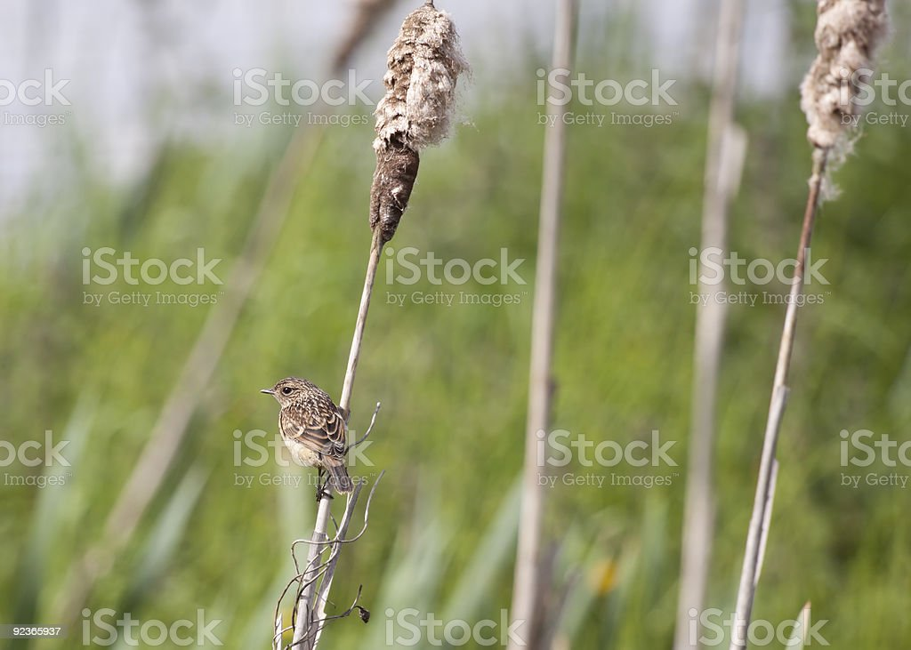 Female Reed Bunting royalty-free stock photo