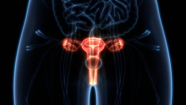 female reproductive system anatomy - uterus stock pictures, royalty-free photos & images