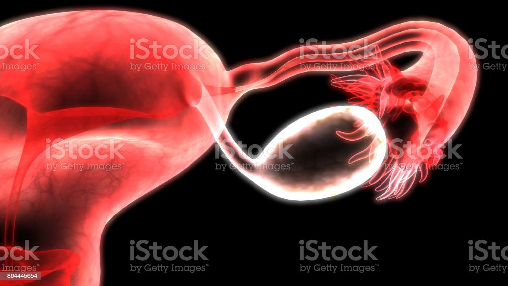Female Reproductive System Anatomy vector art illustration