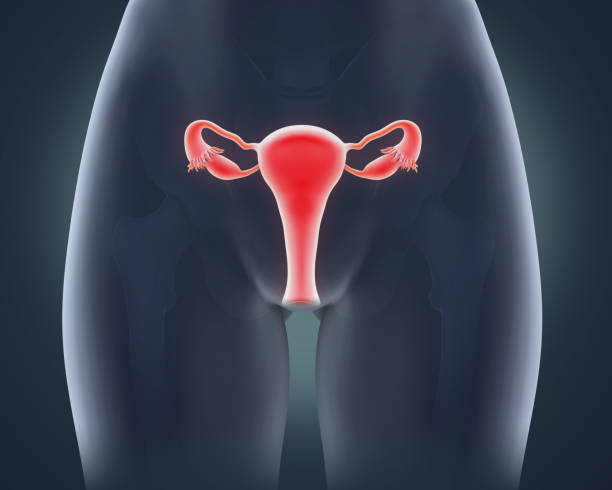 Female Reproductive System Anatomy stock photo