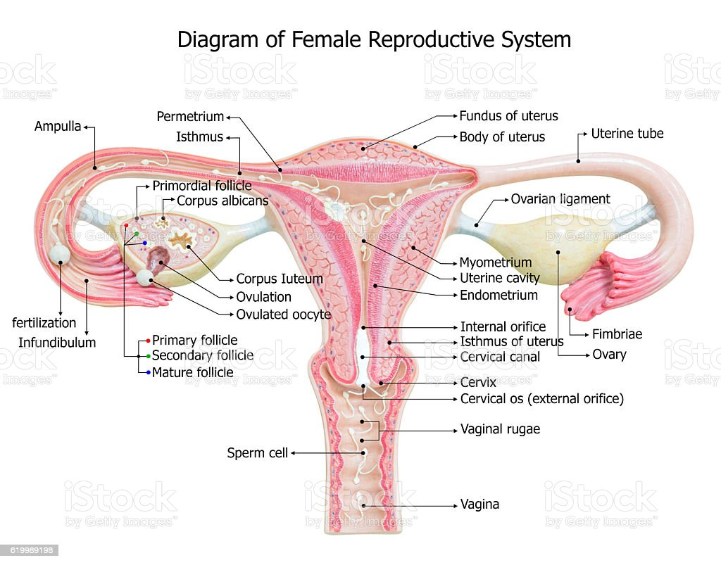 Female Reproductive Organs Diagram - Electrical Drawing Wiring Diagram •