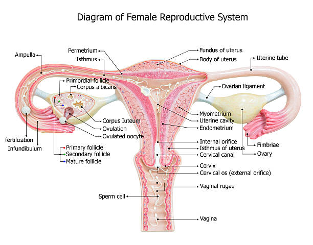 Royalty free female reproductive system pictures images and stock female reproductive system image diagram stock photo ccuart Choice Image