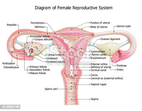 female reproductive system image diagram stock photo ... diagram pregnant womans reproductive system male reproductive system diagram se1