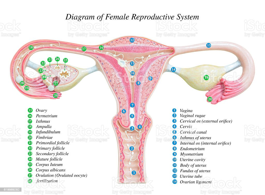 Female Reproductive System Image Diagram Stock Photo More Pictures