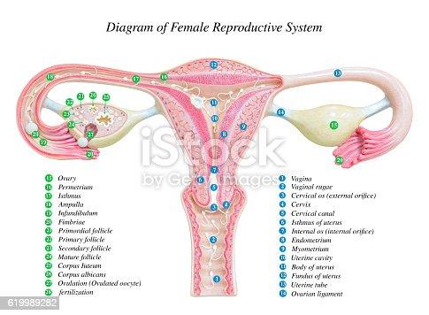 Female       Reproductive       System    Image    Diagram    Stock Photo