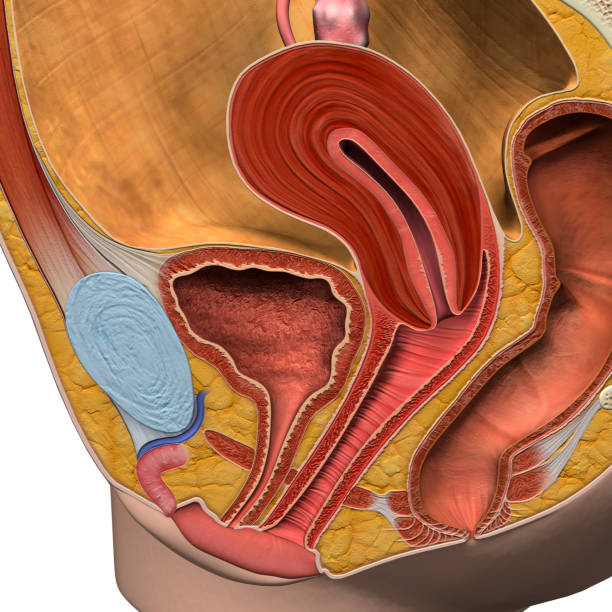 Female Reproductive System in Close Up 3D Sagittal Section stock photo
