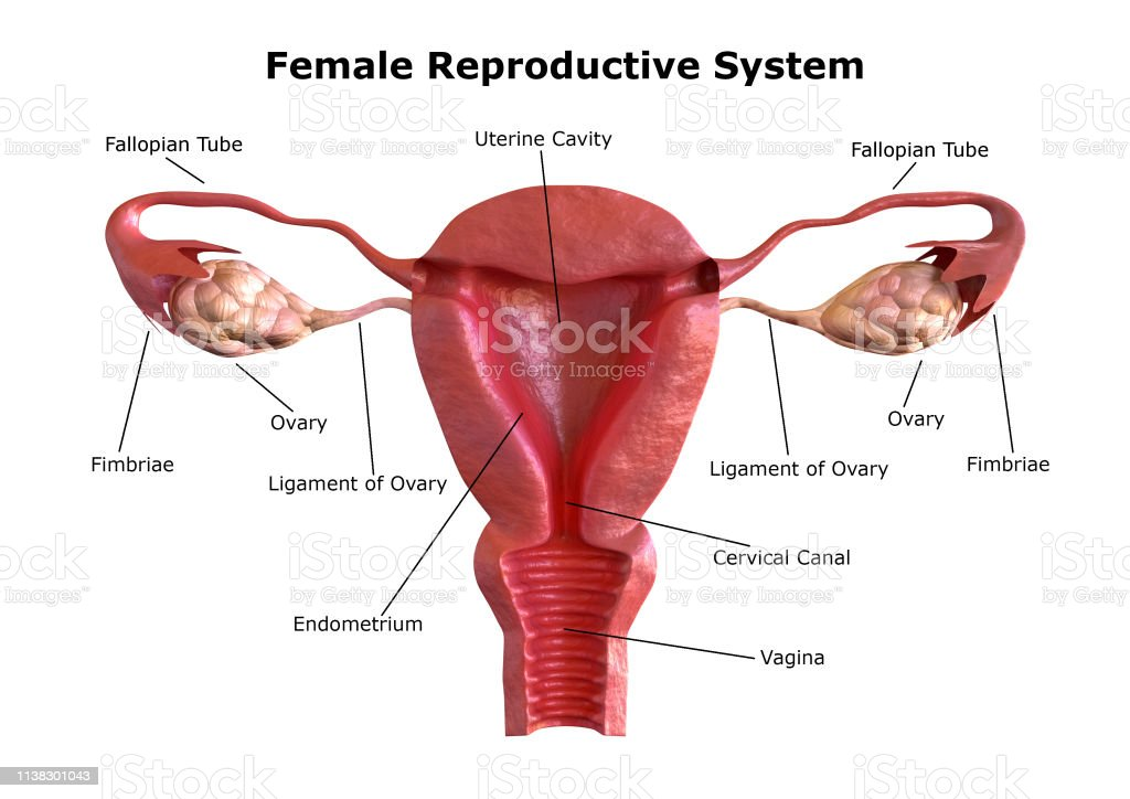 female reproductive system. Internal view of the uterus with cross section. 3D Rendering female reproductive system. Internal view of the uterus with cross section. 3D Rendering Anatomy Stock Photo