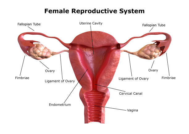 female reproductive system. Internal view of the uterus with cross section. 3D Rendering female reproductive system. Internal view of the uterus with cross section. 3D Rendering fallopian tube stock pictures, royalty-free photos & images