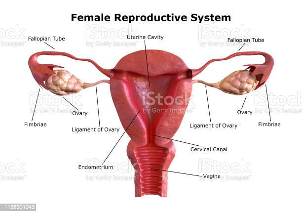 Female Reproductive System Internal View Of The Uterus With Cross Section 3d Rendering Stock Photo - Download Image Now