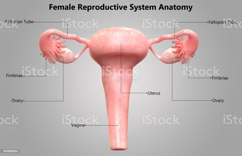 Female Reproductive System Label Design Anatomy Stock Photo More