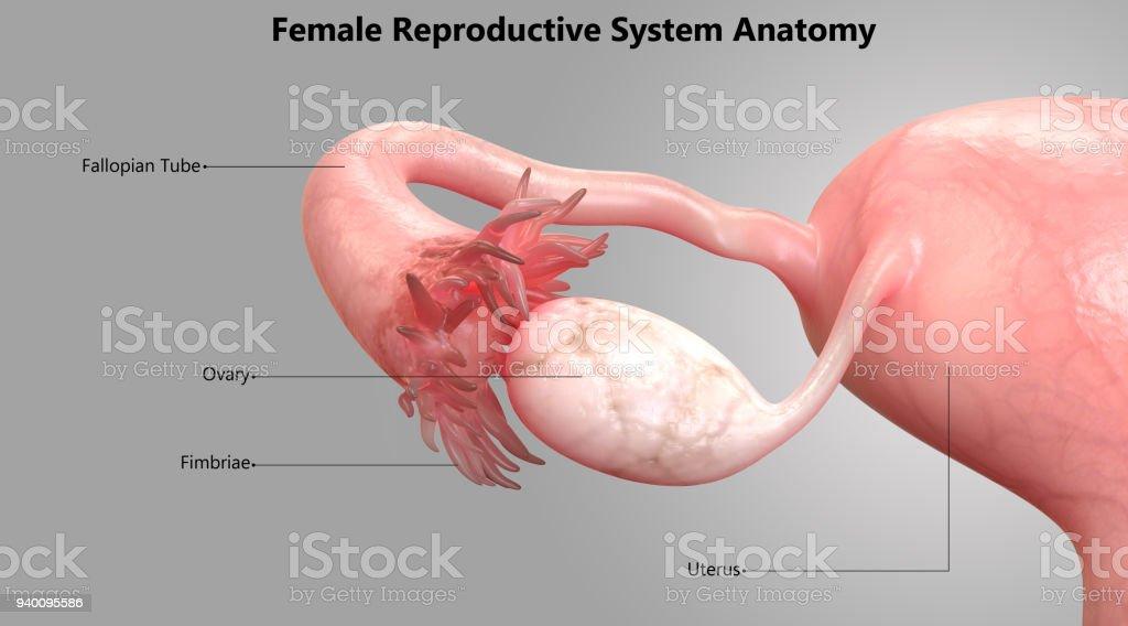 Diseño De Etiqueta De Sistema Reproductor Femenino Anatomía ...