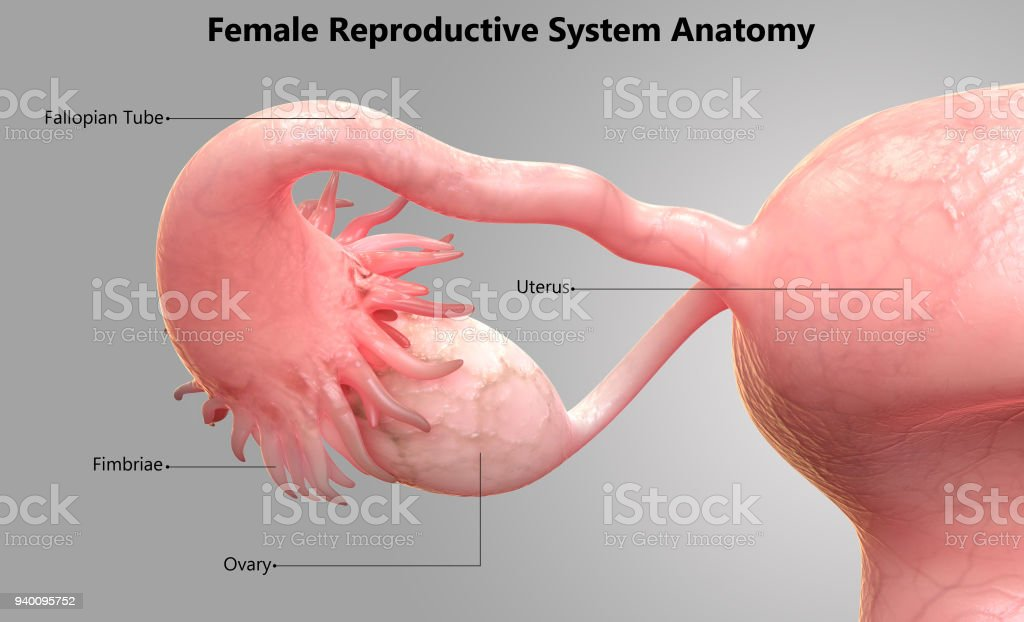 Female Reproductive System Label Design Anatomy Stock Photo & More ...