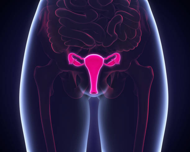female reproductive system - uterus stock pictures, royalty-free photos & images