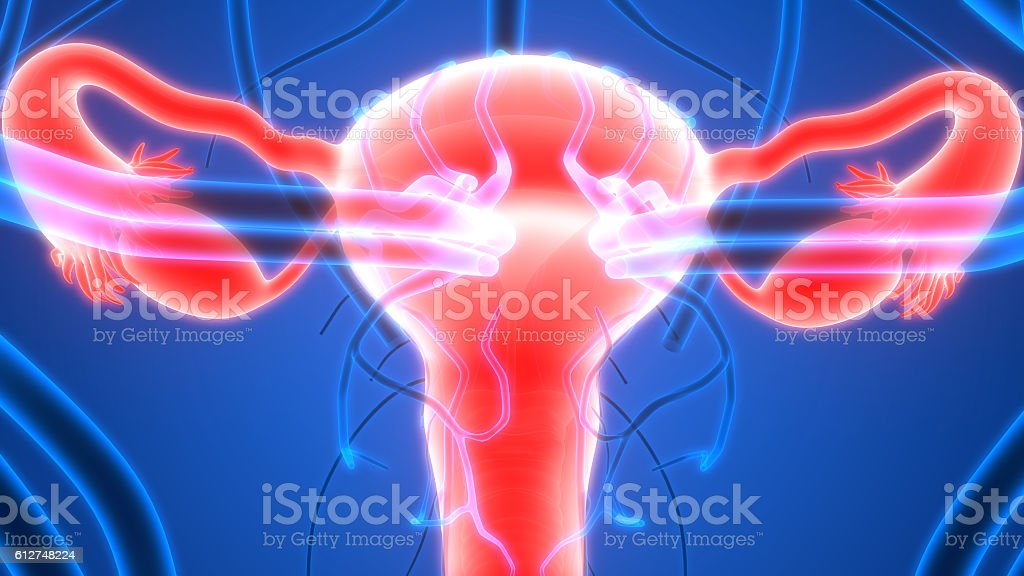 Female reproductive system with nervous system and urinary bladder female reproductive system with nervous system and urinary bladder royalty free stock photo ccuart Images