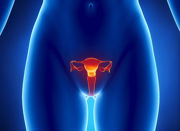 Female REPRODUCTIVE system x-ray view Anterior view of  uterus, fallopian tube, ovary, cervix. janulla stock pictures, royalty-free photos & images