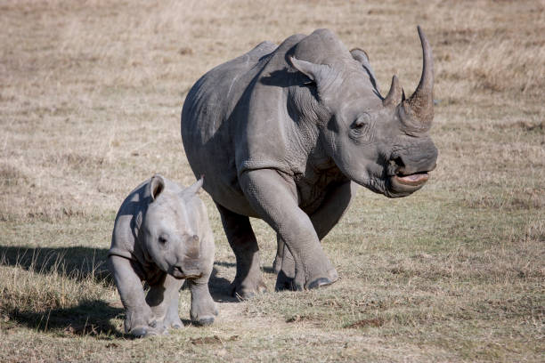 female rhino and her baby running on the African savannah a photographer female rhino and her baby running on the African savannah a photographer, Kenya rhinoceros stock pictures, royalty-free photos & images