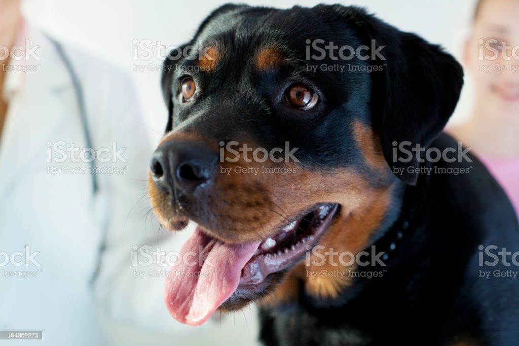 Female Rottweiler Portrait at Veterinary office stock photo