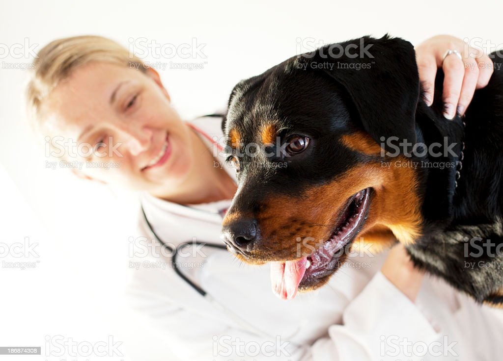 Female Rottweiler Portrait at Veterinary office royalty-free stock photo