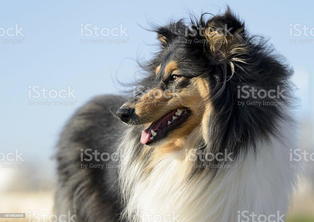 Female Rough Collie Dog stock photo