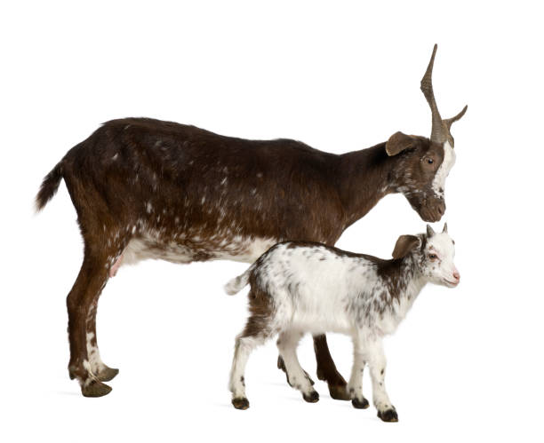 Female Rove goat with kid standing in front of white background stock photo