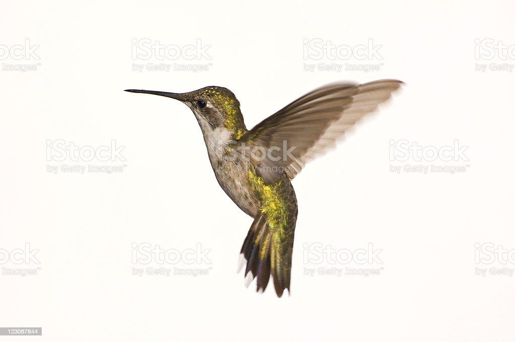 Female Ruby Red Throat Hummingbird in Flight royalty-free stock photo