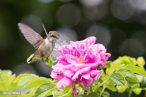 Female Ruby Throated hummingbird collection nectar from a wildflower.