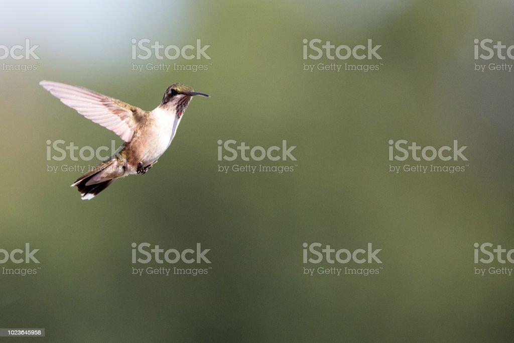 Female Ruby Throated hummingbird in flight stock photo
