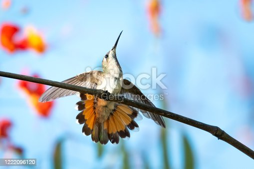 A female Ruby Topaz hummingbird with her tail flared defending her perch.