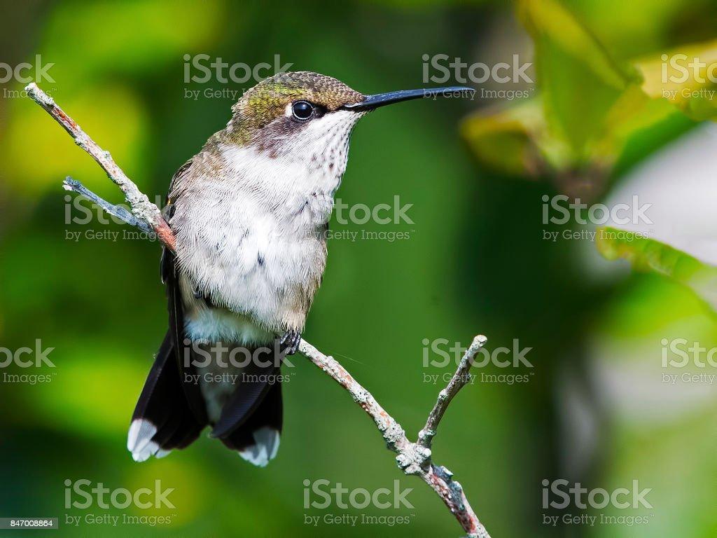Female Ruby-throated Hummingbird stock photo
