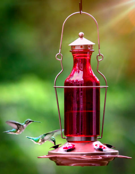Weibliche rubinkehlige Kolibris – Foto