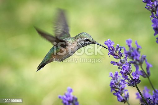 A female calliope hummingbird, selasphorus calliope, starts to drink the nectar from a lavendar flower.