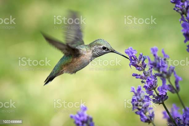 Photo of Female rufous hummingbird drinks from flower.