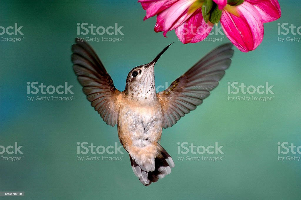 Female Rufous Hummingbird royalty-free stock photo
