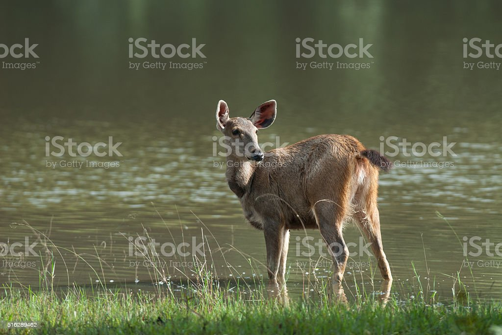 Female Sambar deer(Rusa unicolor ) relax on water in nature stock photo