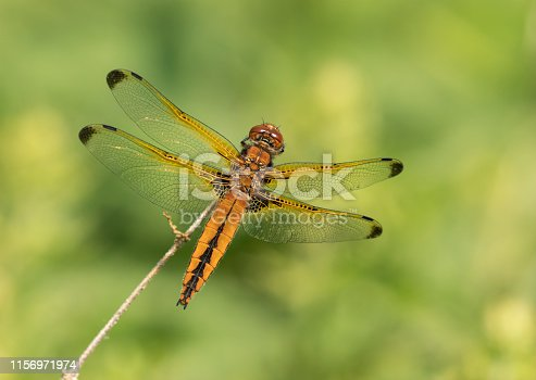 The scarce chaser is a species of dragonfly.The adult female have a bright orange abdomens