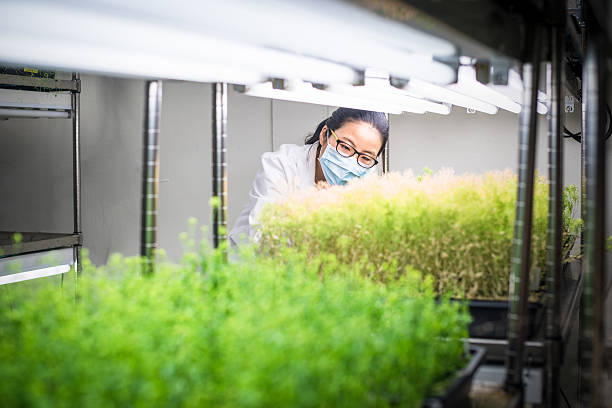 Female scientist examine transgenic plants in the growth chamber stock photo