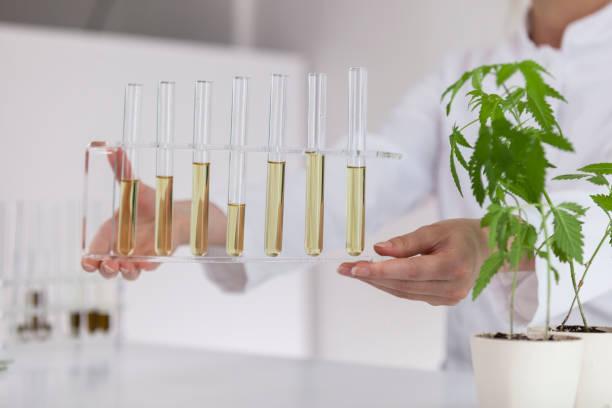 kvinnlig vetenskaps man som innehar en glasskål med cbd olja utvinns ur en marijuana växt. hälso-apotek från medicinsk cannabis. det finns en medicinsk marijuana växt på bordet. - carpel bildbanksfoton och bilder