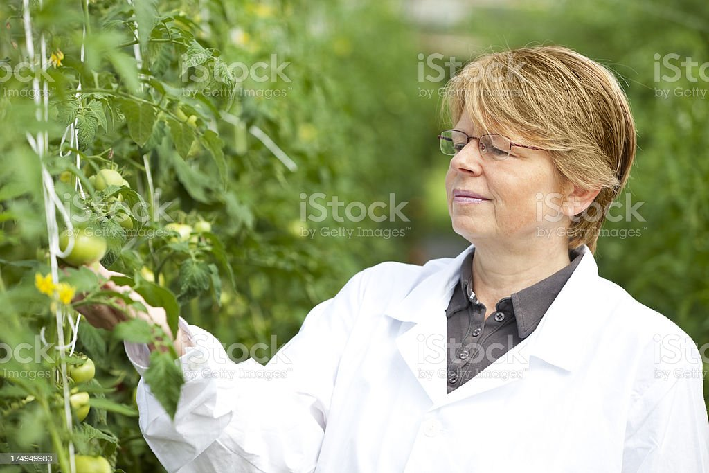 Female scientist inspects genetical varieties of tomato in greenhouse royalty-free stock photo