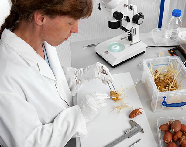Weibliche Wissenschaftler bereitet germinated Kartoffeln – Foto