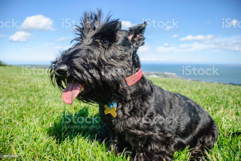 Weibliche Scottish Terrier Hündin sitzen auf einem grasbewachsenen Hügel – Foto