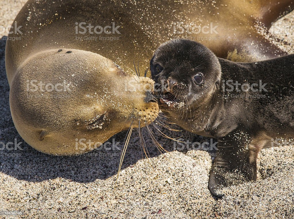 Female sea lion with pup on Gale stock photo